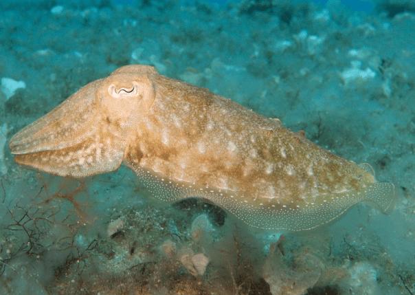 squid sea life