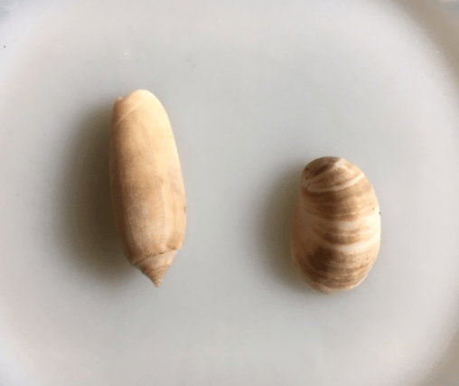 lettered olive and slipper shell