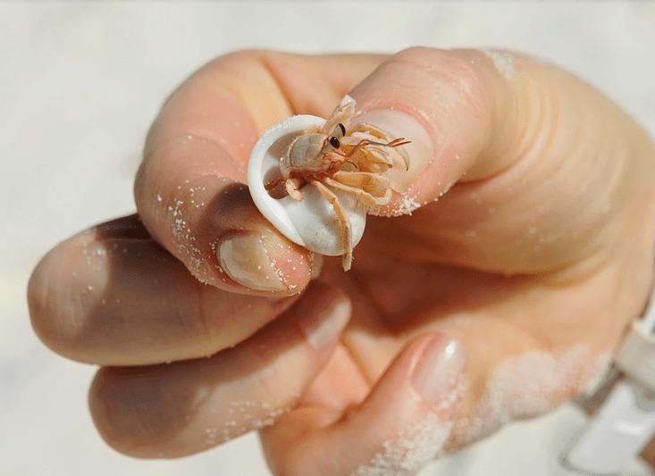 hermit crab in seashell