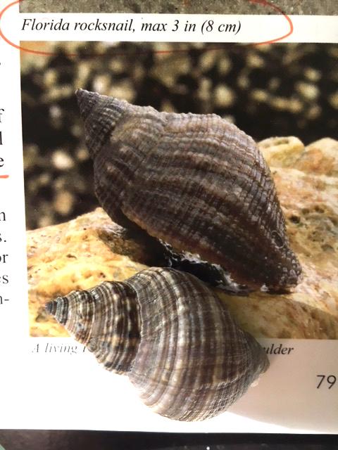 rock snail shell