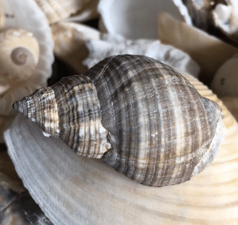 Florida rock snail shell