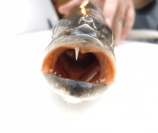 trout fish mouth and teeth