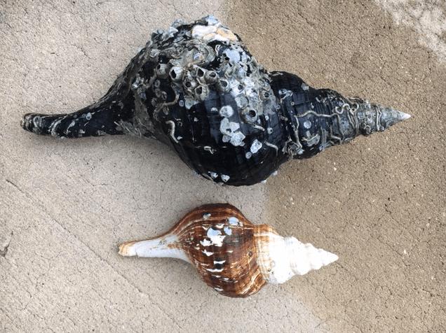 huge horse conch seashell