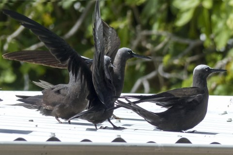 Shearwater birds