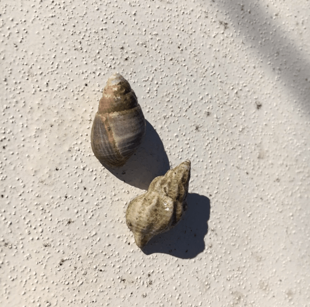 Two little seashells which are home to hermit crabs