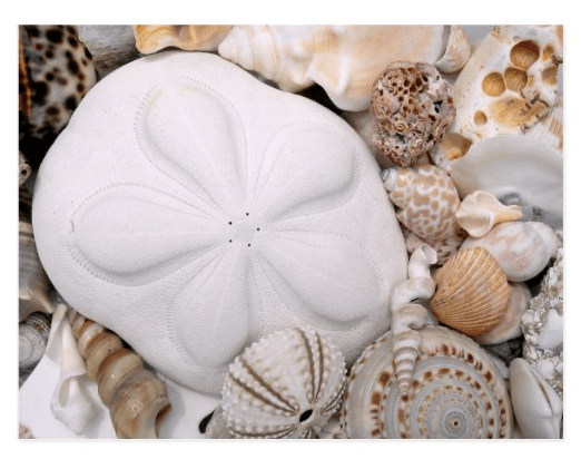 Sand dollar sea cookie beach shells postcard biscuit photography all occasion blank