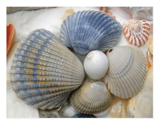 Blue seashells photography postcard ark collection clam