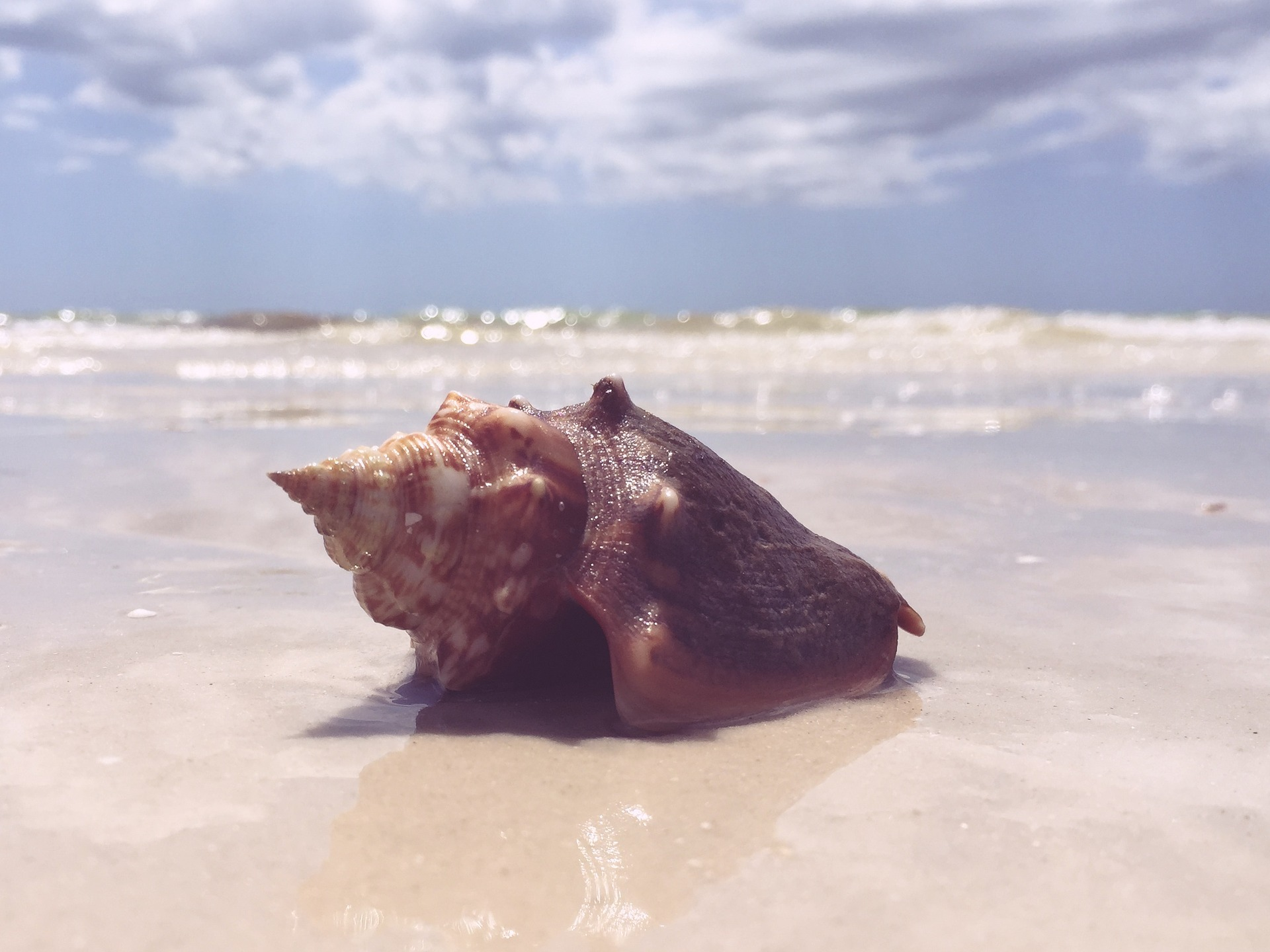 seashell fighting conch beach sand ocean shell in sand