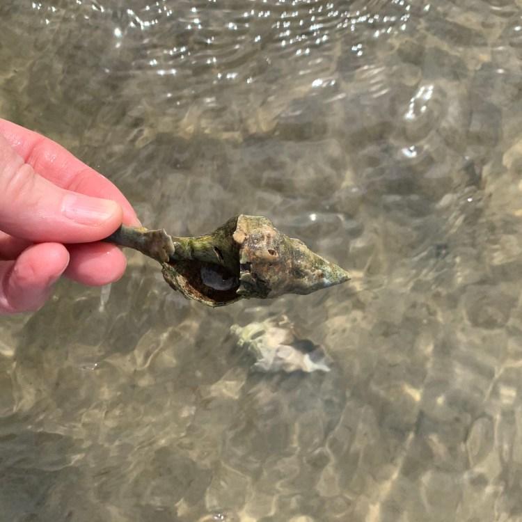 Broken juvenile horse conch