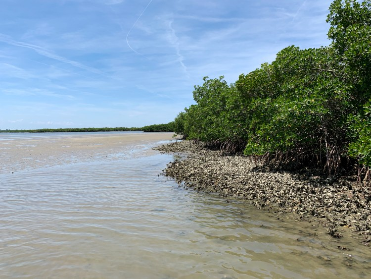 mangroves oyster beds shallows mud flats low tide Three Sisters Florida lagoon
