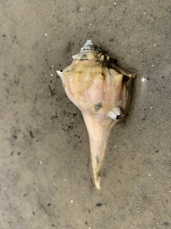 lightning whelk seashell in the wild