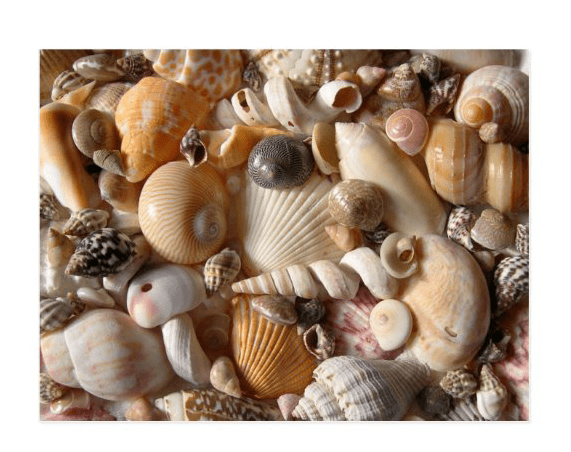 pretty seashells postcards