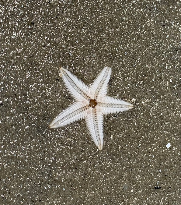sea star, starfish, five-legged, tiny sea star, Florida nature, sea life