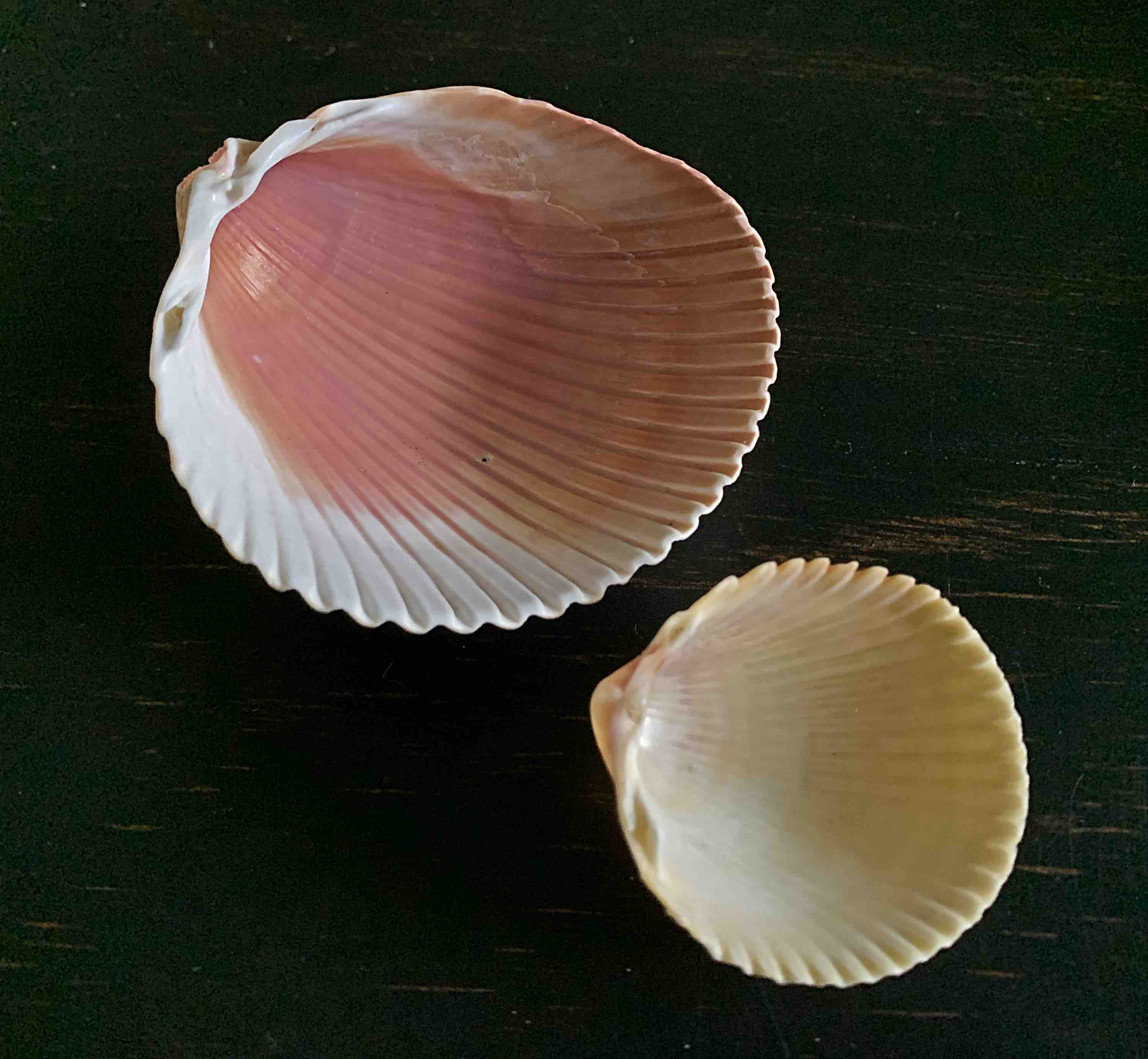 comparing undersides of cockle shells