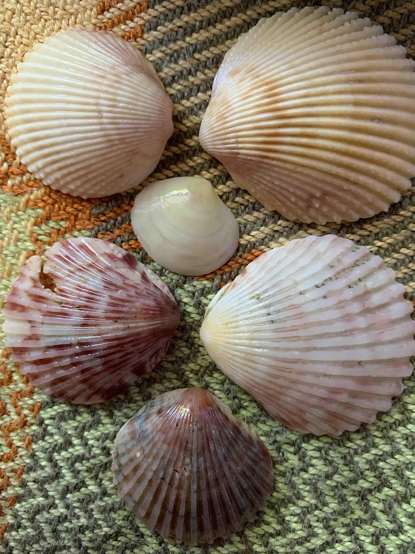 scallop shells, dosinia, pricklycockles