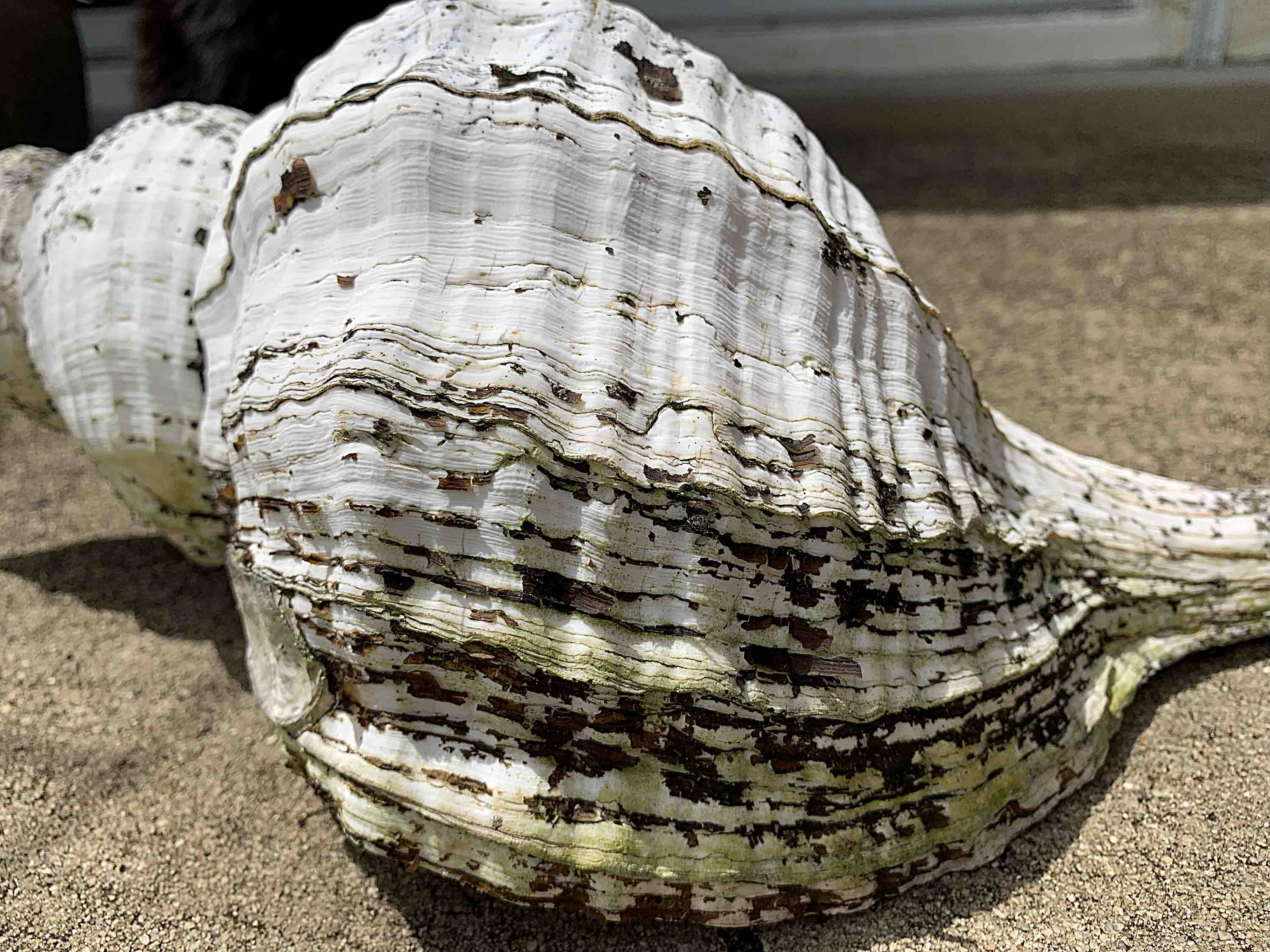 horse conch lines of growth