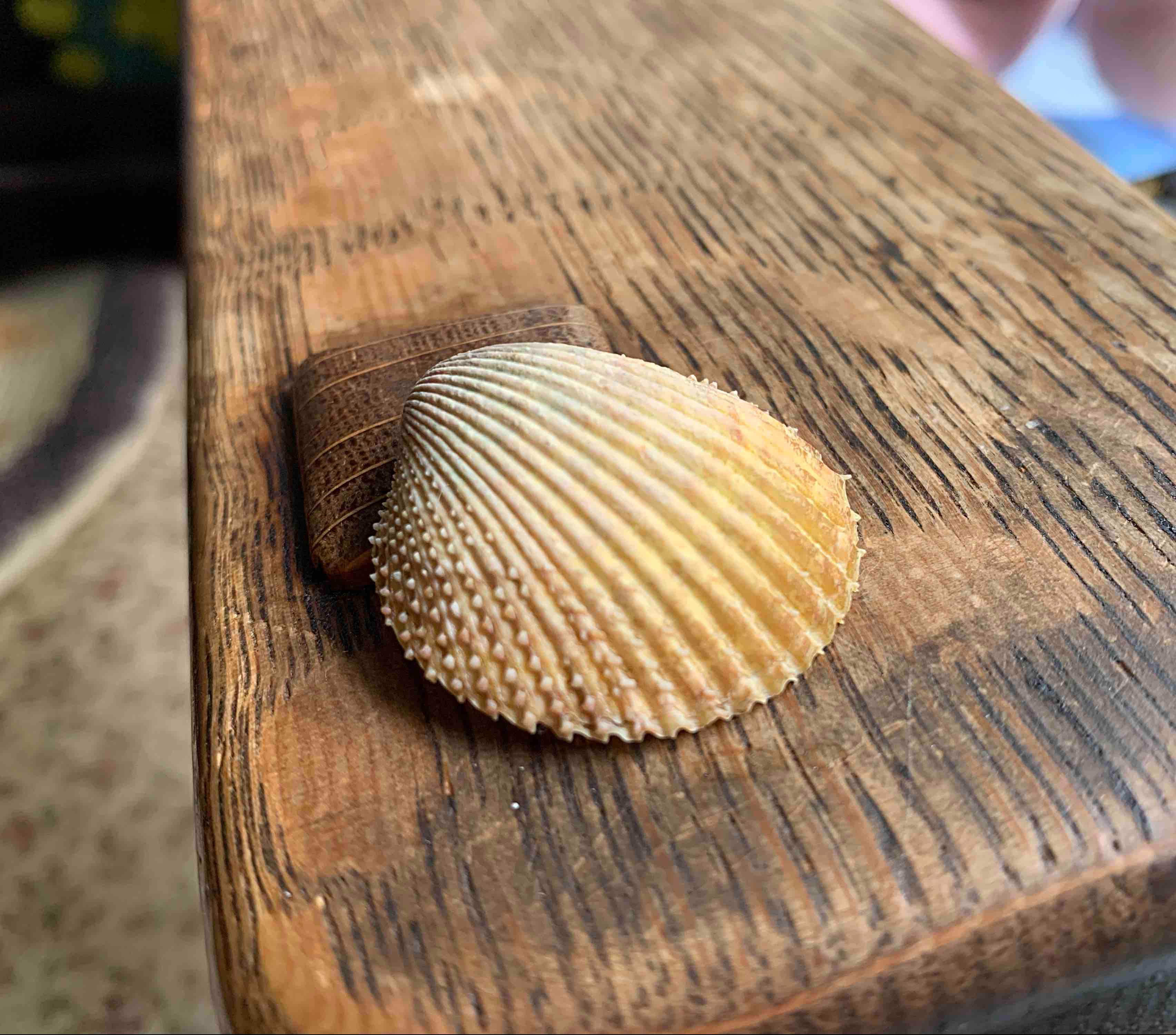 Pricklycockle seashell