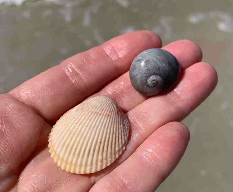 yellow prickly cockles and gray shark's eye shell