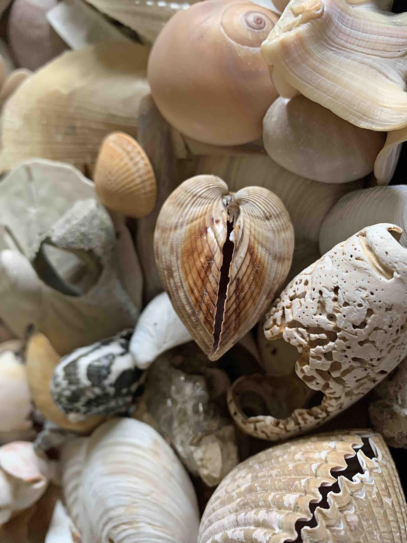heart cockle shell seashell