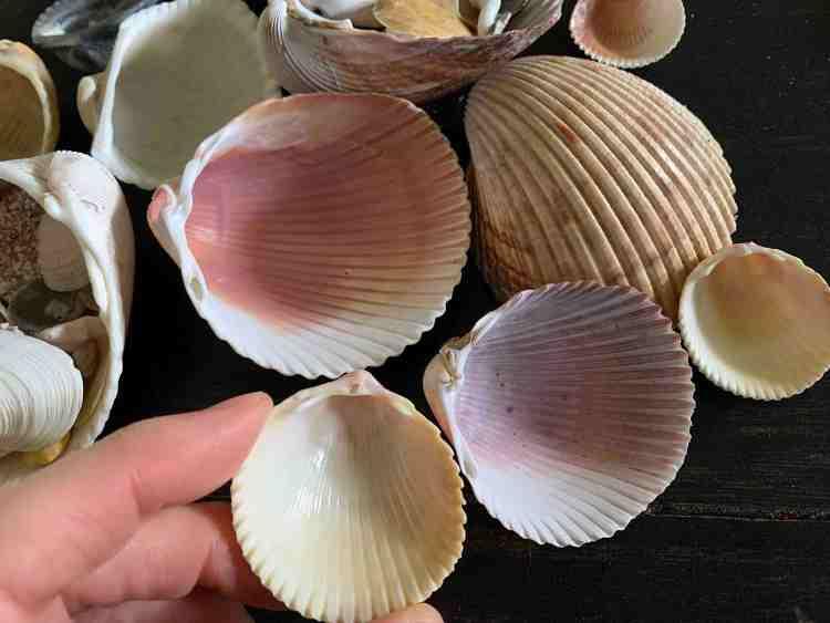 cockle shells underside