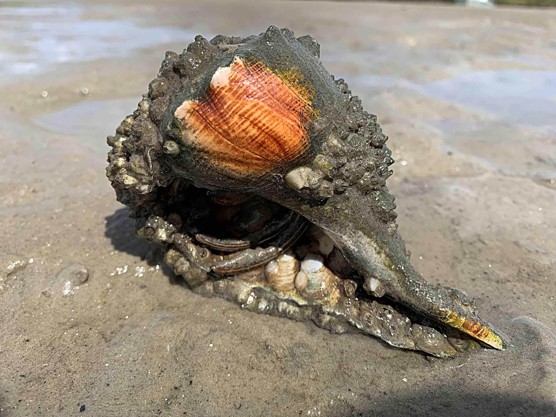 Orange seashell with hermit crab