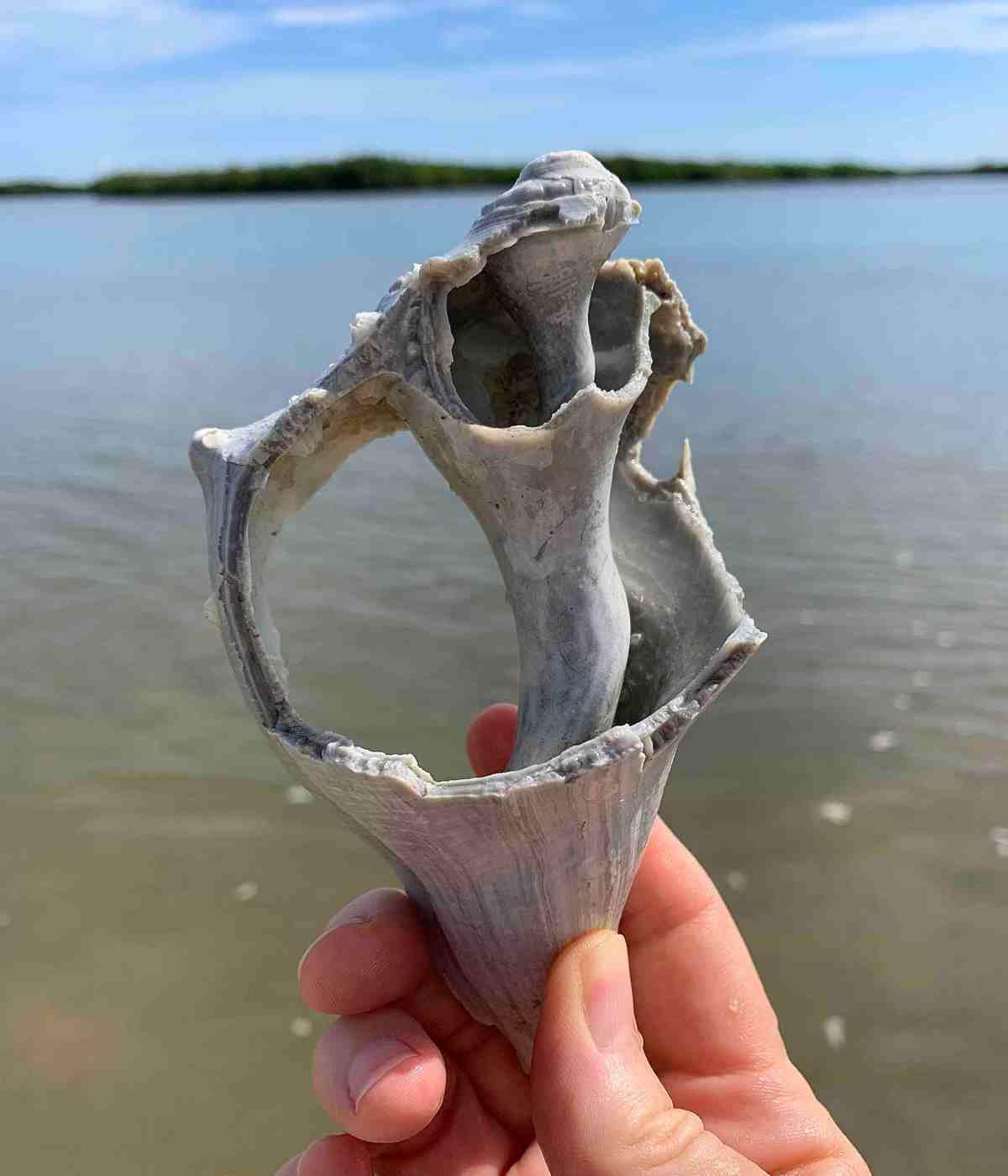 broken big knobbed whelk shell