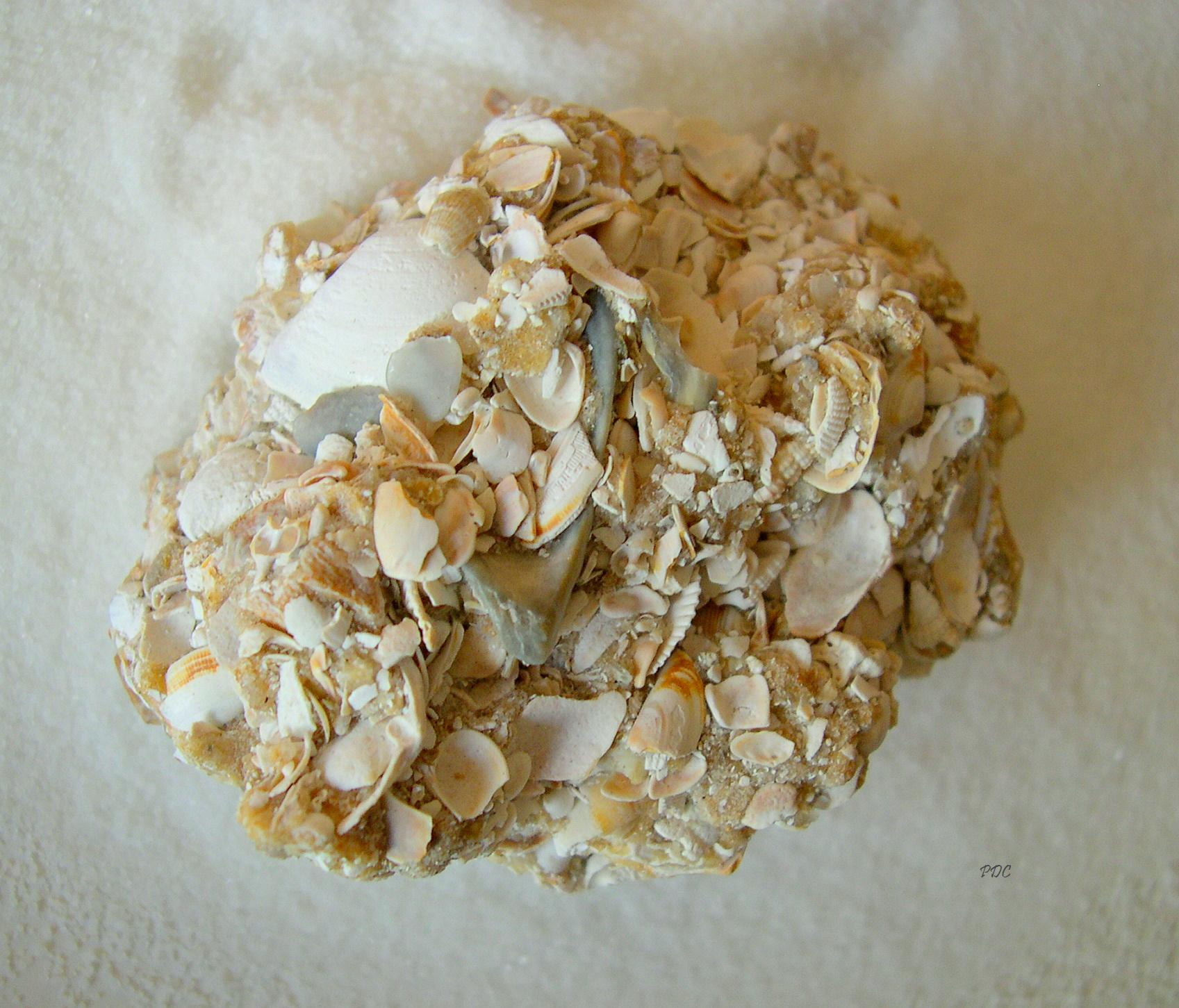 Coquina Rock Signed Seashells By Millhill
