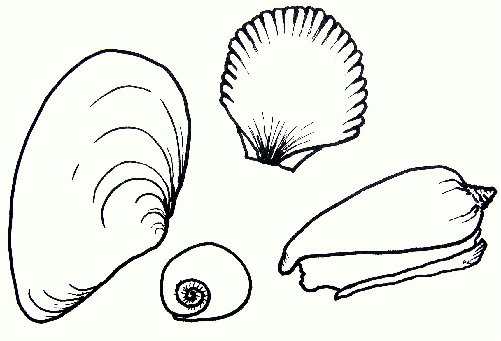 Artwork Seashells Drawing Pdc Seashells By Millhill