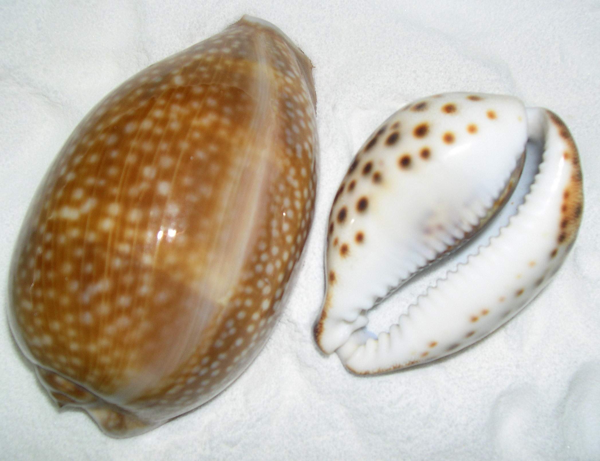 3 & 4 inch Cowry Shells, Showing underneath the Tiger Shell