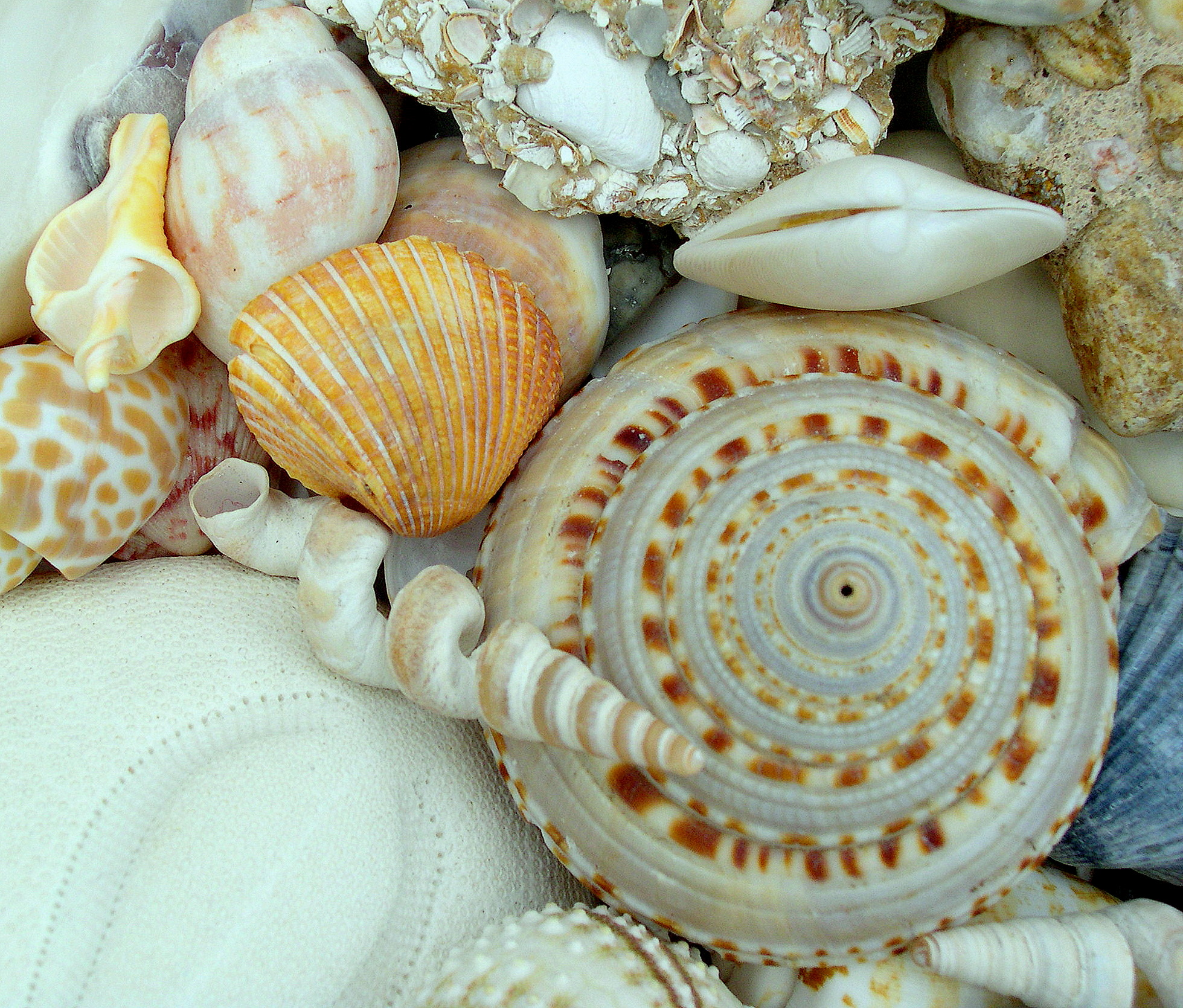 Classifying Seashells Seashells By Millhill