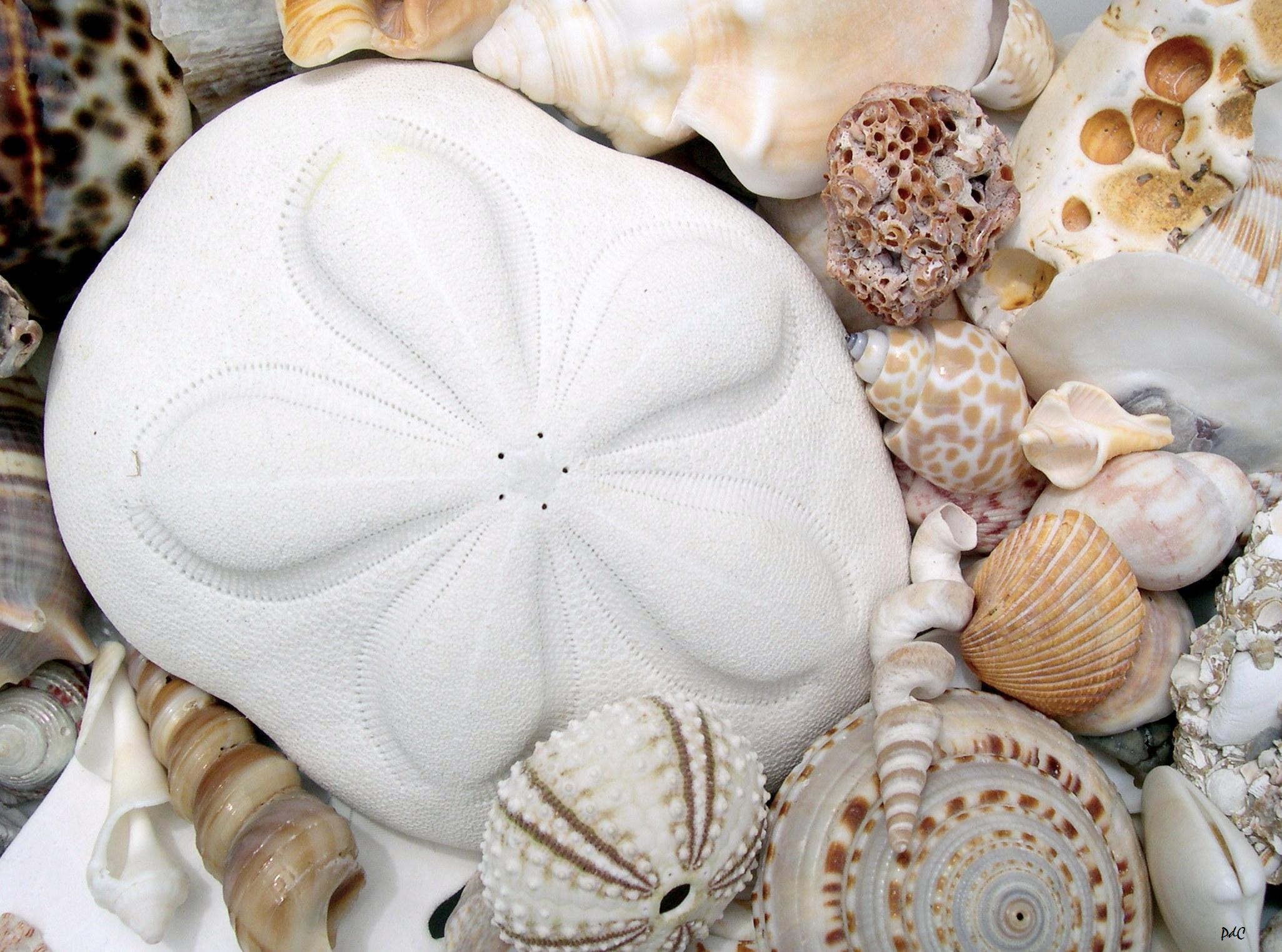 Sea Biscuits On Sanibel Island Seashells By Millhill