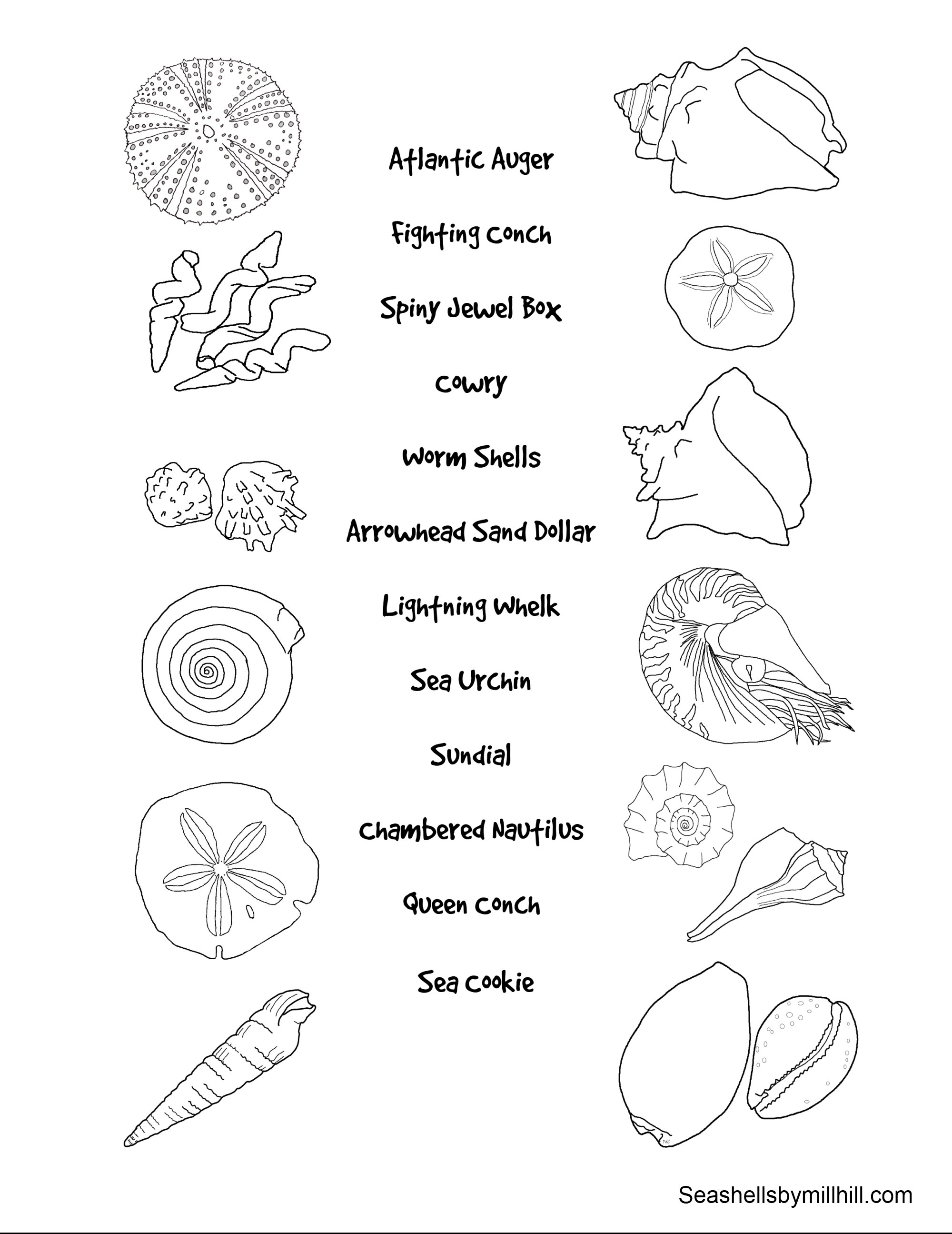 Match The Seashells To Their Names Worksheet Seashells