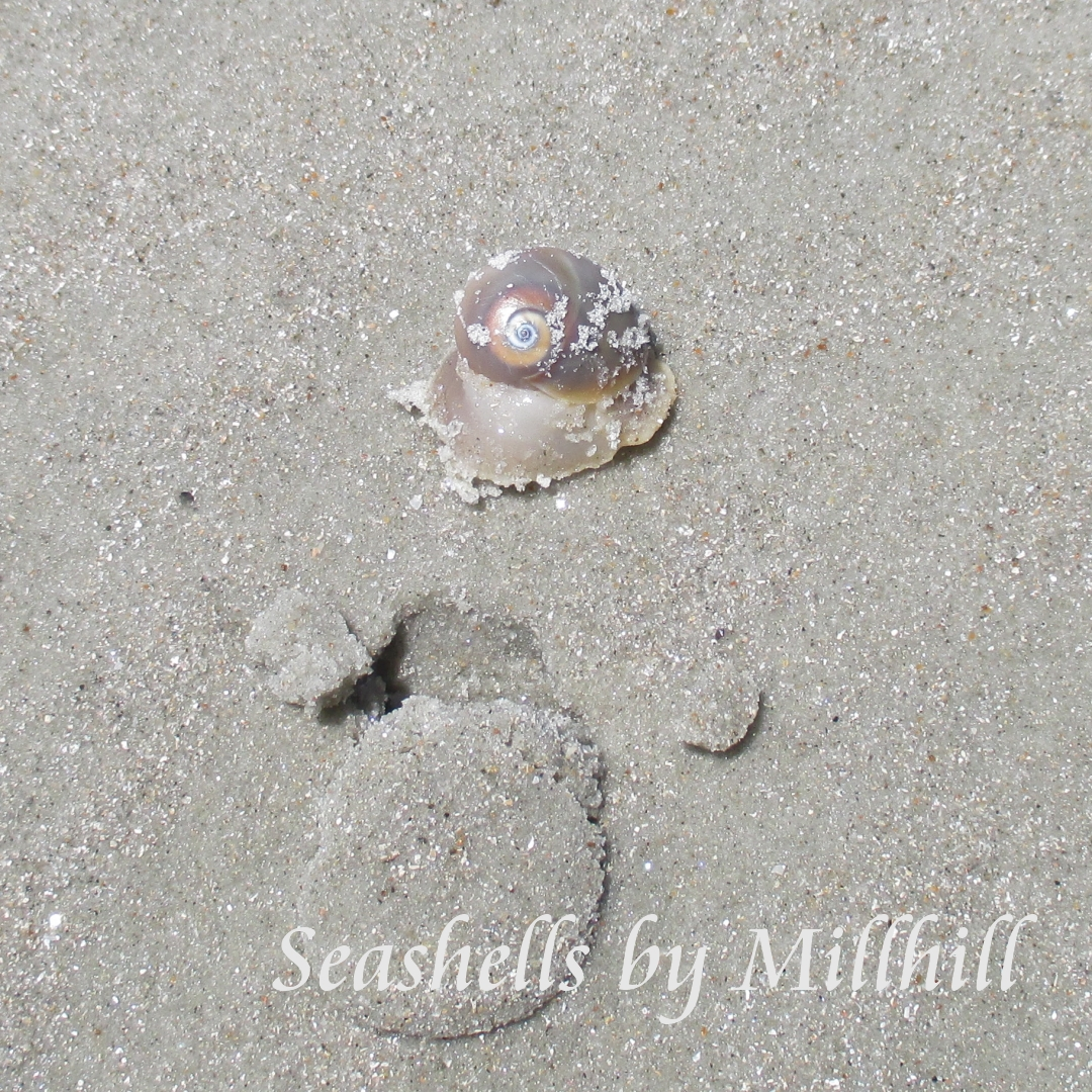 Shells I Found On New Smyrna Beach Seashells By Millhill