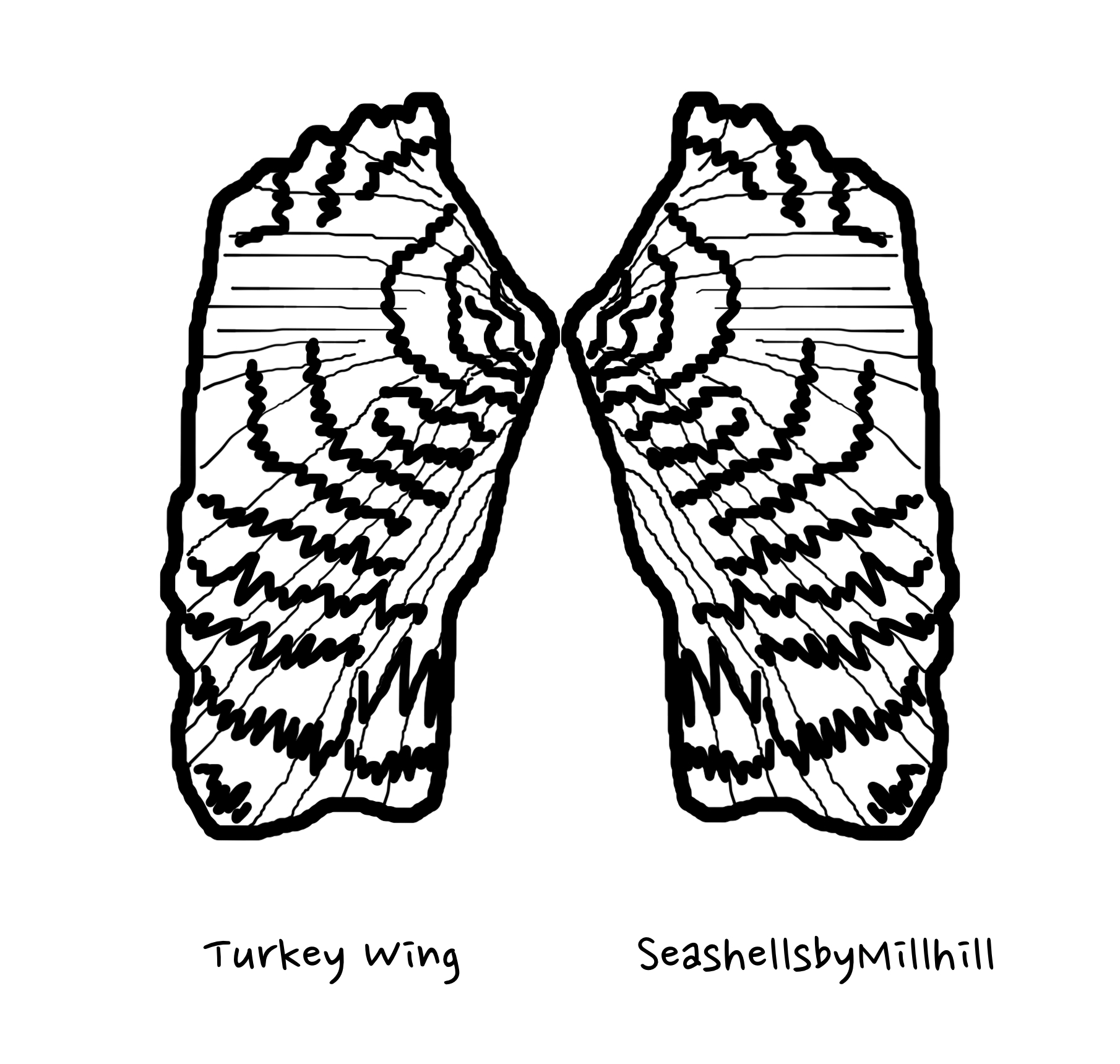 Seashell Coloring Page Turkey Wing Shell Seashells By