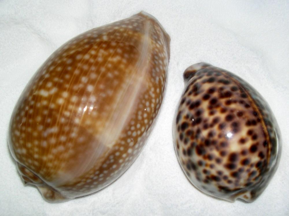 The Cowry Seashell (2/3)