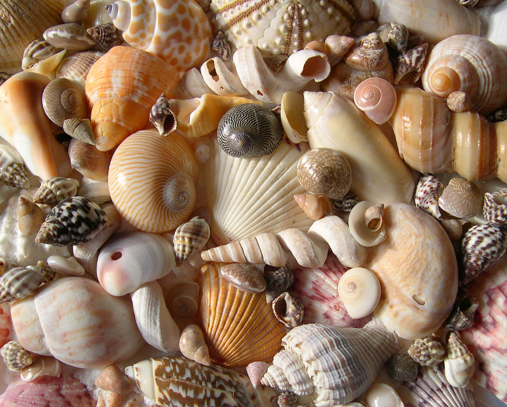 Hawaii Underwater Photography Site Seashells By Millhill