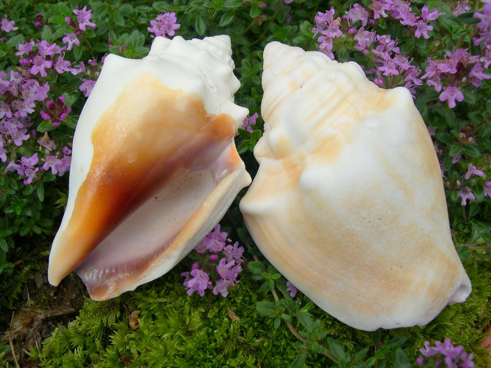 Seashell Identification - The Florida Fighting Conch