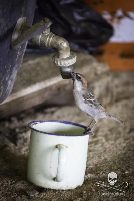 editorial-141001-1-6-140821-sa-001-cape-verde-sparrow-looks-for-water-from-a-leaky-tap-2158-267w.jpg