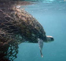 jairo-cr-sea-turtle-entangled-in-a-ghost-net-large