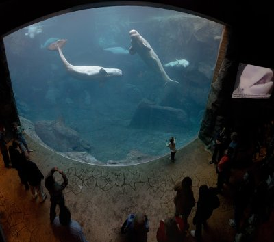 editorial-140319-1-1-Georgia_Aquarium_-_Baluga_Whales_Jan_2006.jpg