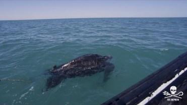 180422_Sea_Shepherd_Leatherback_turtle_rescue_1