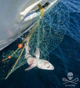 Shark caught net. Photo: Logan Kanan