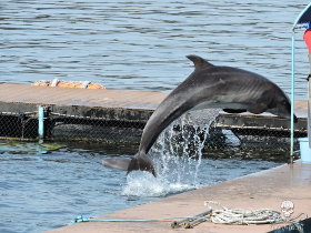 editorial-150514-2-a-visibly-underweight-bottlenose-dolphin-appears-to-be-starving-at-dolphin-base-280w