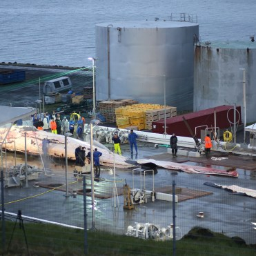 Butchering the first fin whale on 22 June 2018