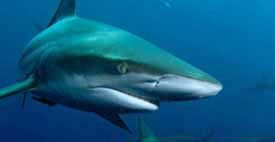 editorial_111027_1_1_sea_shepherd_opposes_wa_shark_cull