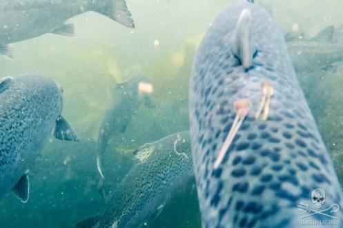 news-170815-1-10-170810-SA-Farmed-Atlantic-salmon-with-sea-lice-001-1200w
