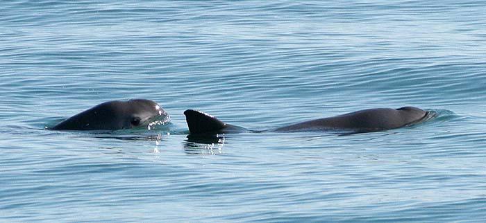 content-vaquita-porpoises-Paula-Olson-NOAA-01-700w