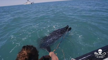 180422_Sea_Shepherd_Leatherback_turtle_rescue_3