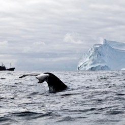 editorial-170828-1-4-100224-BV-Whales,Iceberg&SteveIrwininthebackground-6-0616-1200w