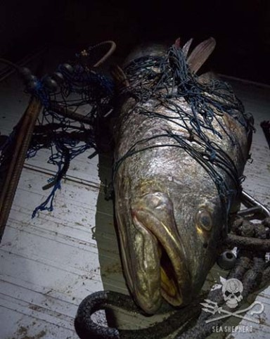 Dead totoaba bass recovered by the SSCS crew and handed to the Mexican Authorities. Photo: Carolina A Castro